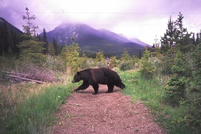 Deze beer is gefotografeerd met een automatische camera die het gebruik van wildoversteekplaatsen in Banff National Park registreert. Foto Tony Clevenger/WTI