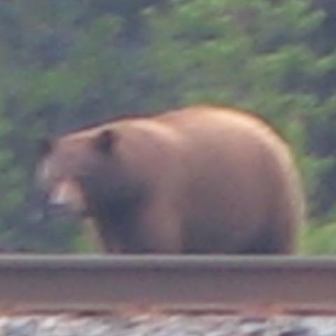Een beer in Banff National Park.