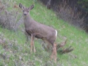 Een hert in de berm van de weg door Banff National Park.