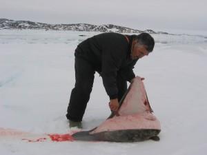 Kango snijdt de zeehond open.
