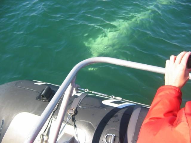 Een witte walvis zwemt bij de boot.