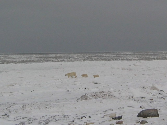 Polar bear with cubs on the shore of Hudson Bay near Churchill, Manitoba.