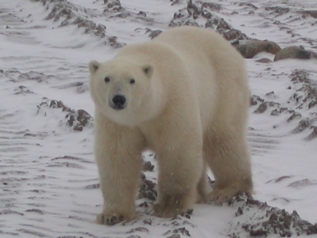 Polar bears depend on sea ice for their survival.
