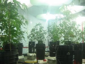 Wietplantage in de Canadese provincie British Columbia.