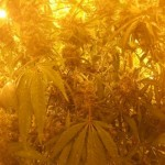 Cultivation of cannabis plants.