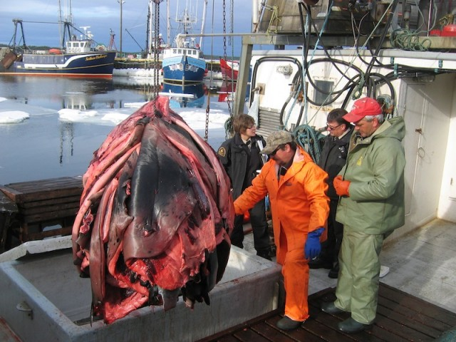 Een homp zeehondenhuiden wordt uit het laadruim van de vissersboot van Tony Gould getakeld in Port Au Choix, Newfoundland.