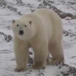 IJsberen zijn afhankelijk van het zee-ijs voor hun overleving.